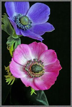 Good picture of two anemone flowers showing range of shade if doing Radiant Orchid in an Ombre style