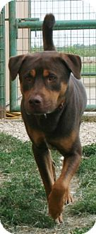 Pilot Point, TX - Rottweiler Mix. Meet ROSCOE, a dog for adoption. http://www.adoptapet.com/pet/11227853-pilot-point-texas-rottweiler-mix