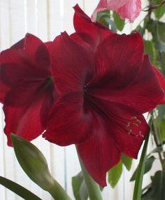 Amaryllis Red Pearl - Royal Dutch Single Amaryllis - Amaryllis - Flower Bulb Index