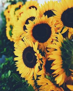 ideas wallpaper yellow flowers floral wallpapers for 2019 Sunflowers And Daisies, Yellow Flowers, Beautiful Flowers, Sun Flowers, Photo Bretagne, Sunflower Pictures, Sunflower Wallpaper, Iphone Wallpaper Tumblr Aesthetic, Sunflower Fields
