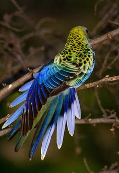pale-headed rosella (photo by schmelly50)