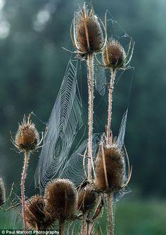 Cobwebs on teasels beside The River Nene near Peterborough, Cambridgeshire