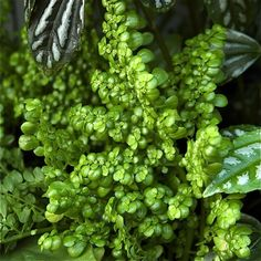 Choosing terrarium plants can take thought. Consider these beautiful, easy-to-grow plants that thrive in a terrarium like creeping fig and pothos. Terrarium Jar, Air Plant Terrarium, Garden Terrarium, Garden Plants, Indoor Plants, Terrarium Ideas, Closed Terrarium Plants, Terrarium Containers, Garden Spaces