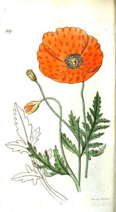 This is a vintage illustration of an Icelandic Poppy from a botanical book. The bright orange flower is pretty pattern inspiration.