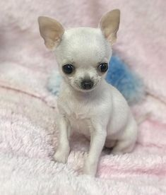 Chihuahua dogs are part of the toy dog breed, bringing a lot of energy in a tiny package. Find out more about the Chiwawa dog here. Chiots Teacup Chihuahua, Chihuahua Puppies For Sale, Chihuahua Love, Cute Dogs And Puppies, Baby Dogs, Teacup Yorkie, Doggies, Cute Teacup Puppies, Chihuahua Facts