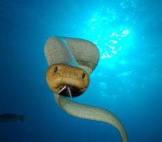 The Olive Sea Snake is a dangerous venomous snake from the coral reefs of northern Australia. The tail is vertically compressed and mostly creamy white with a brown ridge down the back.