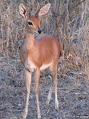 A Steenbok from Africa