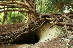 View hundreds of pictures and places to visit in beautiful Surrey -, England. Find out more at Beautiful England Photos Nature Witch, Tree Tunnel, Enchanted Wood, One With Nature, Fantasy Photography, Tree Roots, Winter Trees, Surrey, Beautiful Places