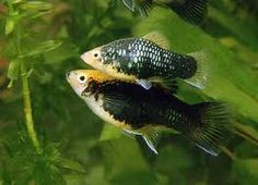 Xiphophorus maculatus-platy - Pesci acqua dolce e salata d'acquario - descrizione, diffusione, alimentazione, riproduzione