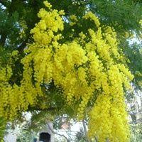 Vijver en Tuincentrum Pelckmans: Acacia dealbata of Mimosa