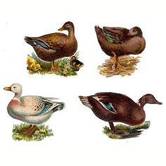 Antique Lot of 4 Victorian Die Cut Scraps featuring ducks and geese. Scraps are die cut and embossed. Largest bird measures 2 x 3 3/4 inches. Condition for all is very good. One duck has a light creas