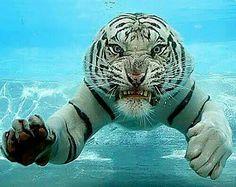 Bello tigre albino