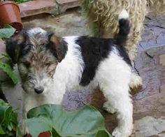 wire haired fox terrier - Google Search