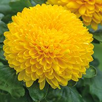 Find Migoli Yellow online from Woolmans Chrysanthemums, There is something irresistible about traditional blooms in the autumn. Flora Flowers, Marigold Flower, Birth Flowers, Rare Flowers, Flowers Nature, Exotic Flowers, Yellow Flowers, Wonderful Flowers, Beautiful Roses