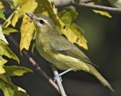 Philadelphia Vireo. June 10, 1983 @ Loon Lake, NY, Along Hatch Brook Rd, to old DEC Hdqrs.  Adult, feeding a juvenile, resonded to a tape. Photo Rob Curtis/VIREO