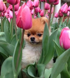 Marvelous Pomeranian Does Your Dog Measure Up and Does It Matter Characteristics. All About Pomeranian Does Your Dog Measure Up and Does It Matter Characteristics. Cute Puppies, Cute Dogs, Dogs And Puppies, Doggies, Dachshunds, Animals And Pets, Baby Animals, Cute Animals, Jiff Pom
