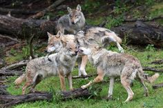 Bild zu Wolfsgehege