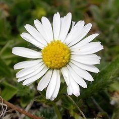 tusensköna - Sök på Google Dandelion, Flowers, Plants, Country, Google, House, Daisy, Rural Area, Home