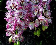 orquídeas raras na natureza - Pesquisa Google