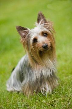 Australian Silky Terrier 06
