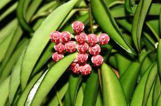 Hoya Kentiana plant- Wax plant