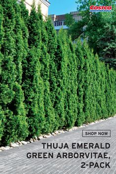 Thuja Emerald Green Arborvitae, USDA Zone Includes 2 Plants Evergreen Shrubs used for Privacy Arborvitae Landscaping, Landscaping Along Fence, Outdoor Landscaping, Landscaping Ideas, Backyard Ideas, Privacy Trees, Privacy Plants, Backyard Privacy, House Landscape