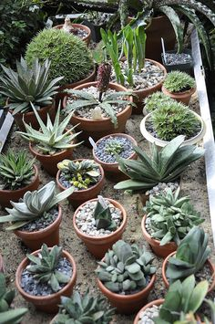 Growing with plants: Greenhouse Treasures and Collection Management - My sand beds are raised, aluminum beds with sharp sand which I keep damp. Clay pots can then pull water, through osmosis which provides a more natural source of water for many winter rainfall plants, such as those found growing in the western Cape of South Africa, or Chile