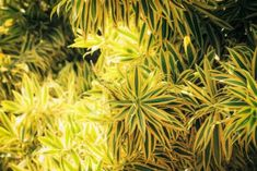 Song Of India Plant Care: Learn About Growing A Variegated Dracaena Plant