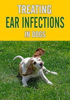 Treating Ear Infections in Dogs - Chasing Dog Ear Infections in Dogs - Chasing Dog TalesHe Ear Infection Home Remedies, Dogs Ears Infection, Dog Health Tips, Pet Health, Cleaning Dogs Ears, Group Of Dogs, Dog Items, Dog Rules, Dog Hacks
