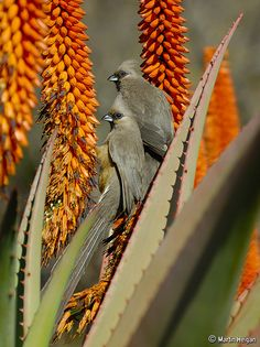 cedar wax wings in the blooming aloes Succulent Gardening, Planting Succulents, Succulent Ideas, Succulent Plants, Cacti, My Secret Garden, Orange Flowers, Great Pictures, Beautiful Birds