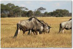 Hwange National Park in Africa Zimbabwe, South Africa, National Parks, Wildlife, Animals, Animales, Animaux, Animal, Animais