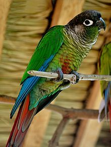 This is what my bird Kamora is :)...a Green Cheek Conure :)