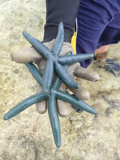 Blue starfish on the reef in Okinawa Japan  #animal #blue #starfish #reef #okinawa #japan #photography