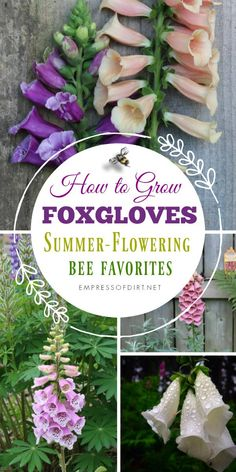 How to grow foxgloves (Digitalis) for your home garden.