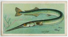 Gar-fish (Belone). From New York Public Library Digital Collections.