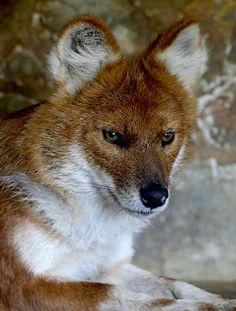 The most endangered Asiatic top predator, the dhole is on the edge of extinction. Conservation status: Endangered