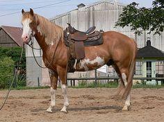 Paint Horse Deckhengst Sorrel-Overo