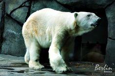 Como Zoo - Polar Bear