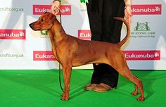 ARITAUR GUNGA DIN, German Pinscher
