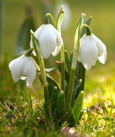 Look at this #zulilyfind! Galanthus Snowdrop - Set of Ten #zulilyfinds