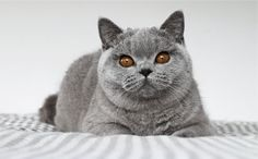 ORIGEN, CARÁCTER Y ESTÁNDAR Cattery, British Shorthair, Pets, Animals, Strong Back, Long Haired Cats, Factory Farming, Characters, Kitty