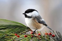 Pine Chickadee by Christina Rollo - Pine Chickadee Photograph - Pine Chickadee Fine Art Prints and Posters for Sale