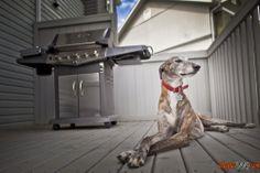Foto ágeis cães