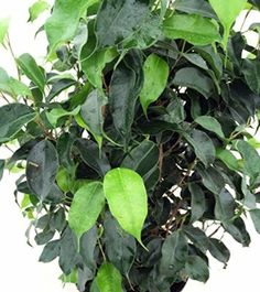 """Jmbamboo - Midnight Weeping Fig Tree - Ficus - Great Indoor Tree for Low Light - 4"""" Pot"""