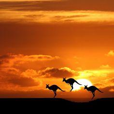 夕陽に照らし出された3匹のカンガルーのシルエット。