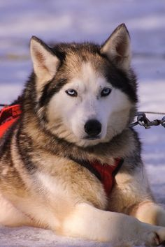 Are you a fan of Siberian Huskies? If you are crazy about Huskies and you really want to shout it loud then visit link above to check out our awesome collection of best selling Husky T-shirts, mugs, etc.