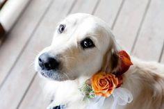 Collares para los perros en las bodas [Fotos]