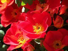 Blaze red wild roses from the rosebush in my yard.