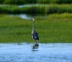 Blue Heron in Back Bay Behind Harrahs, Atlantic City. The bird came over to the edge of the marshland to check out what I was doing.
