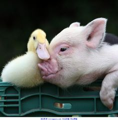 Pig and duck - Adorable!